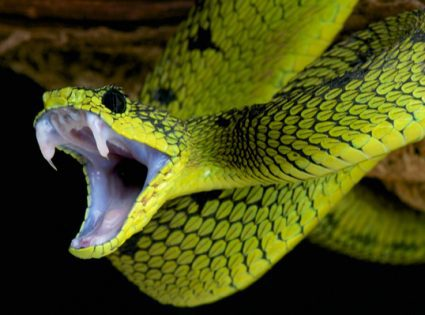 venomous snake bite