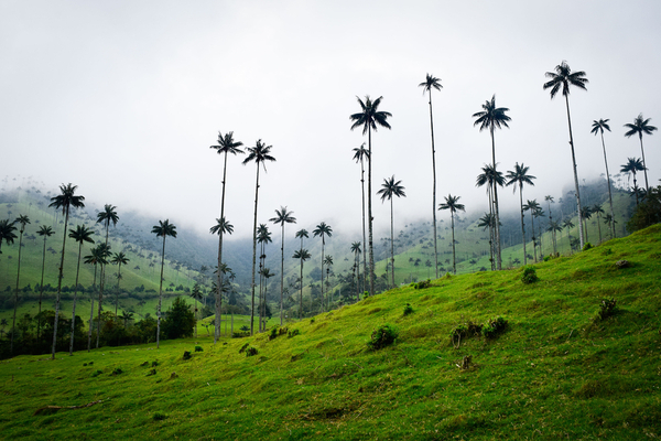 World's tallest palm trees, Colombia