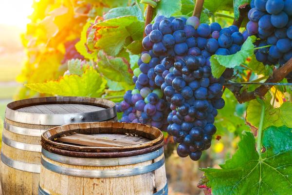 champagne vineyard grapes