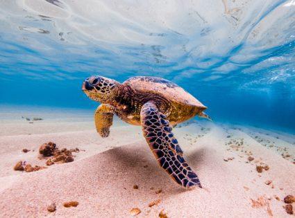 hawaiin turtle