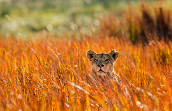 lioness in botswana laying in grass