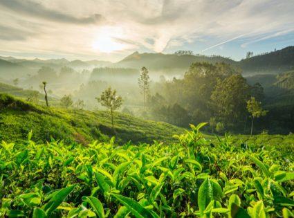 darjeeling inidia tea field